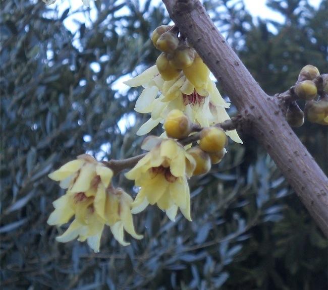 Chimonantus praecox fiore