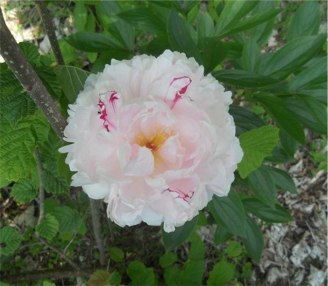 Peonia 'Sarah Bernhardt'